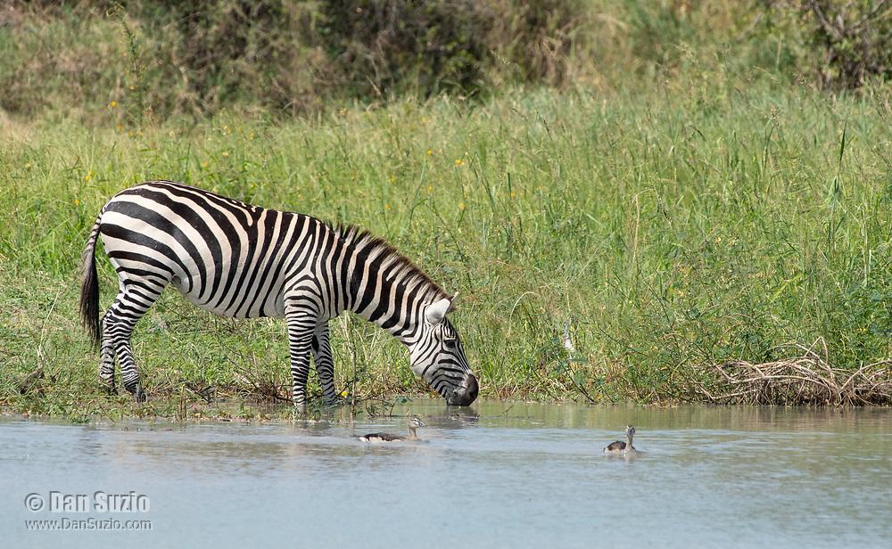 Grant's Zebra, Equus quagga boehmi, drinks from a pond in Tarangire National Park, Tanzania
