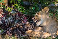 Female lions eating the carcass of a wildebeest, near Kwara Camp, Okavango Delta, Botswana.