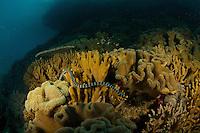 Banded sea krait (Laticauda sp.).