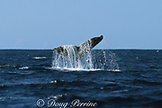 humpback whale, Megaptera novaeangliae, slapping tail on surface, Threatened Species, Hawaii, USA ( Central Pacific Ocean )
