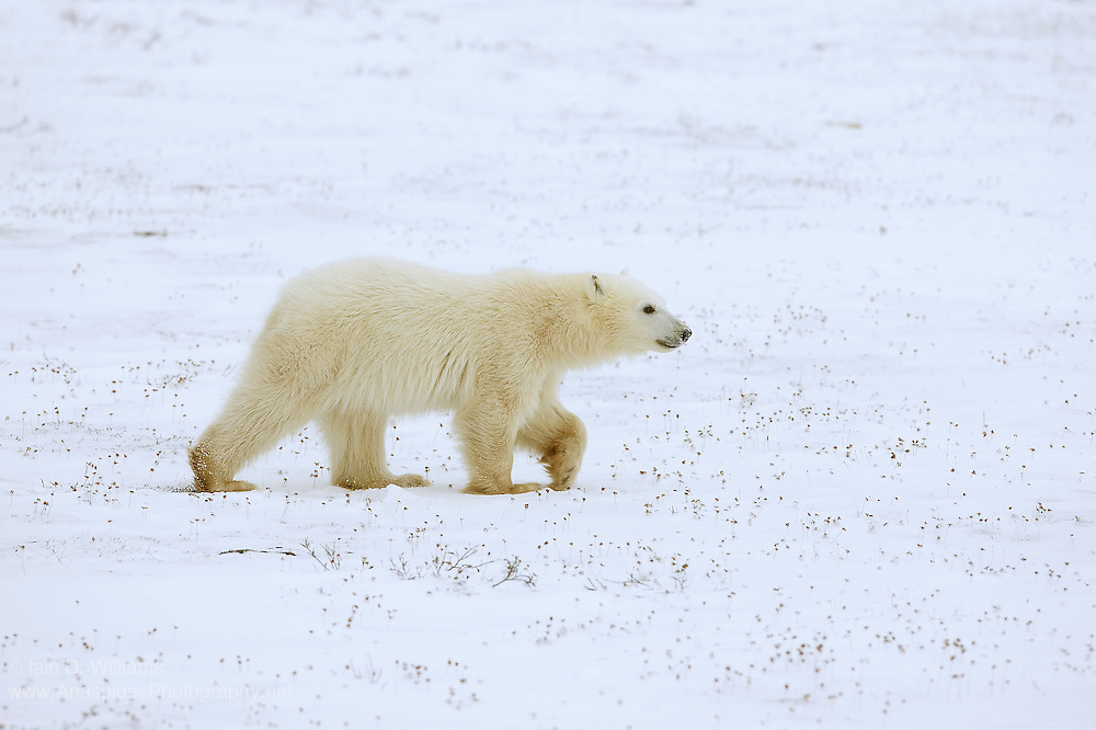 A polar bear cub, separated from its mother, walks quickly to catch her in the high Arctic in Canada