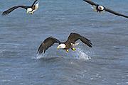 Bald Eagle, Haliaeetus leucocephalus, Kenai Peninsula, Homer Spit, Homer, Alaska. Digital original, #2006_0202  ©Robin Brandt
