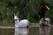 Wild Horses Cooling Off in Salt River