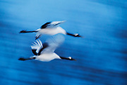 Motion-blur of Japanese red-crowned cranes in flight (Grus japonensis), Tsurui, Hokkaido, Japan