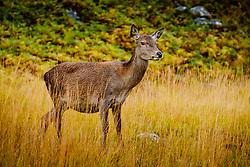 A young red deer hind in Glen Etive, Highlands of Scotland<br /> <br /> (c) Andrew Wilson | Edinburgh Elite media