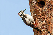Syrian Woodpecker (Dendrocopos syriacus) The Syrian Woodpecker is a resident breeding bird from southeastern Europe east to Iran. Its range has expanded further northwest into Europe in recent years. Syrian Woodpecker is 23–25 cm long, and is very similar to the Great Spotted Woodpecker, Dendrocopos major. Photographed in Israel