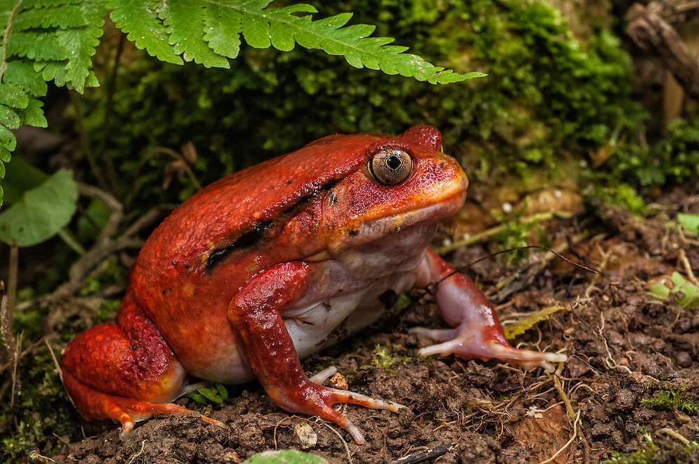 Tomato frog (Dyscophus antongili) from Maroansetra and Bay of Antongil or Masoala Peninsula. North-eastern rainforest of MADAGASCAR.<br /> This large frog exudes a sticky white fluid when attacked, which is toxic and gums up the predator's mouth.<br /> ENDEMIC TO MADAGASCAR