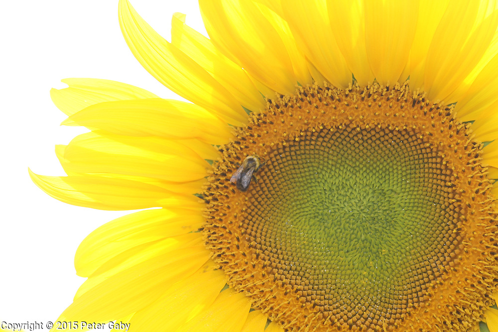 The Sunflowers have reached full bloom at Pope Farm Conservancy in Middleton,  WI. on  August 05, 2015.<br /> <br /> <br /> <br /> <br /> <br /> <br /> <br /> <br /> <br /> <br /> <br /> <br /> <br /> The Sunflowers have reached full bloom at Pope Farm Conservancy, Middleton,  WI. on July 23, 2015.<br /> <br /> <br /> <br /> <br /> <br /> <br /> <br /> <br /> <br /> <br /> <br />  Pope Farm Conservancy, Middleton,  WI. on July 23, 2015.
