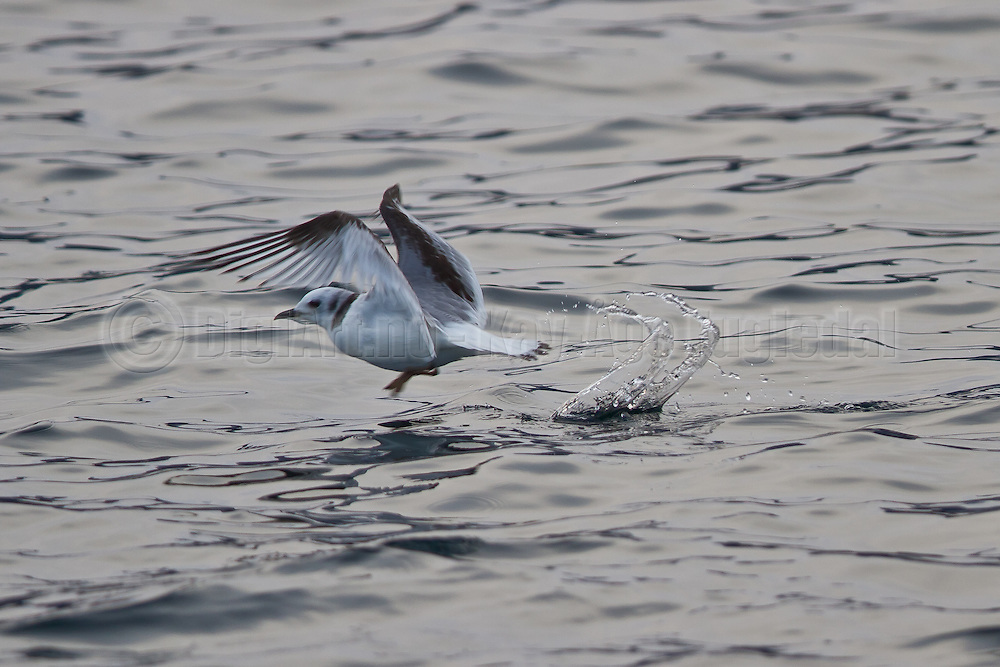 Krykkjeunge i flukt| Kittywakebaby in flight