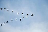 V-formation of Snow Goose (Chen caerulescens)  at Fir Island, Skagit River delta, Puget Sound, Washington, USA