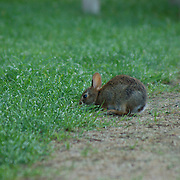 A baby rabbit came out that evening as we finished dinner at Kripalu in Stockbridge. MA