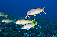 Yellowfin Goatfish, Mulloidichthys vanicolensis, (Valenciennes, 1831), Lanai, Hawaii