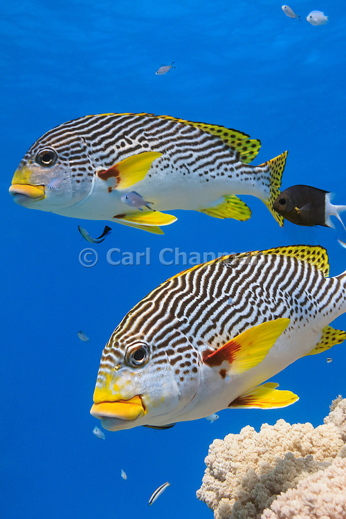 Diagonal banded Sweetlips fish (Plectorhinchus lineatus) on tropical coral reef - Agincourt reef, Great Barrier Reef, Queensland, Australia. Also commonly known as  Yellow-banded Sweetlips, Oblique-banded Sweetlips or Goldman's Sweetlips. <br />