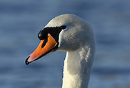 Mute Swan - Cygnus olor. Close up of adult head. L 150-160cm. Large, distinctive water bird and a familiar sight. Swimming birds hold long neck in an elegant curve. Family groups are a feature of lowland lakes in spring. Typically tolerant of people. In flight, shallow, powerful wingbeats produce and characteristic, throbbing whine. Sexes are similar but bill's basal knob is largest in males. Adult has white plumage although crown may have orange-buff suffusion. Bill is orange-red with black base. Juvenile has grubby grey-brown plumage and dull pinkish grey bill. Voice Mostly silent. Status Our commonest swan; the only resident species. Found on freshwater habitats besides which it nests; in winter, also on sheltered coasts.
