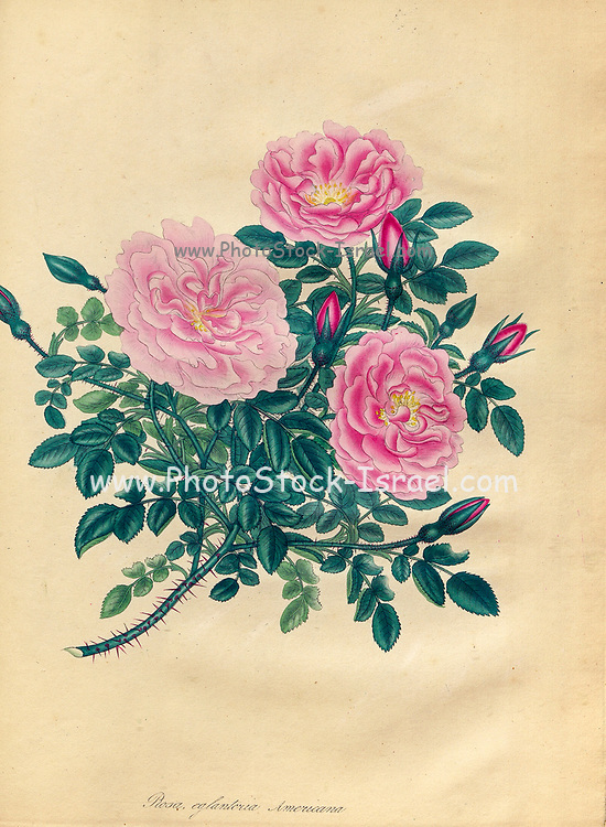 ROSA Eglanteria Americana, American Eglantine Rose From the book Roses, or, A monograph of the genus Rosa : containing coloured figures of all the known species and beautiful varieties, drawn, engraved, described, and coloured, from living plants. by Andrews, Henry Charles, Published in London : printed by R. Taylor and Co. ; 1805.