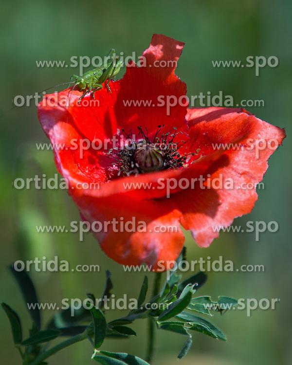 THEMENBILD - Der Klatschmohn (Papaver rhoeas), auch Mohnblume oder Klatschrose genannt, ist eine Pflanzenart aus der Familie der Mohngewächse. Hier im Bild ein Grashüpfer sitzt auf einer Klatschmohnblüte, Aufgenommen am 19.05.2013 in Jois // THEMES IMAGE - Papaver rhoeas (common names include corn poppy, corn rose, field poppy, Flanders poppy, red poppy, red weed, coquelicot, and, due to its odour, which is said to cause them, as headache and headwark) is a species of flowering plant in the poppy family. In This Image A grasshopper sitting on a poppy flower, pictured on 2013/05/19. EXPA Pictures © 2013, PhotoCredit: EXPA/ Johann Groder