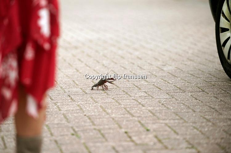 Nederland, Beuningen, 27-6-2020 Deze kreeft neemt en dreigende houding aan tegen een langzaam passerende auto. De rode rivierkreeft is een kreeft uit de zuidoostelijke Verenigde Staten en Mexico, die leeft in zoet water. Vaak wordt de soort aangeduid met Amerikaanse rivierkreeft, maar die naam is ook in gebruik voor enkele andere soorten van het geslacht Procambarus. Het dier is berucht, want het kan de gevaarlijke kreeftenpest overbrengen. Dit gaat ten koste van de inheemse soorten, zoals de Europese zoetwaterkreeft, die hiertegen niet bestand zijn.Het is een invasieve exoot .Foto: Flip Franssen