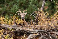 Female Big Horn Sheep (Ewe)