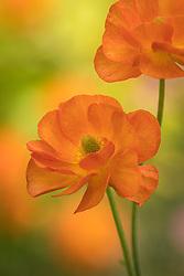 Ranunculus 'Rococo Orange'