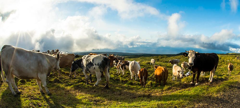 Cows graze near in an alpine meadow near the summit of Pico Mountain in Pico Island, Azores, Portugal, North Atlantic Ocean.