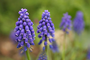 Dark Grape Hyacinth, Muscari commutatum Israel Spring, March 2007