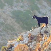 Wild goat in Crete mountains
