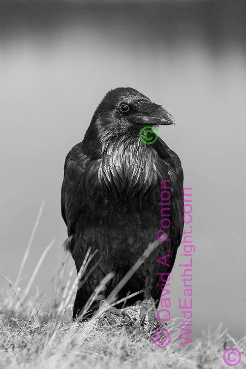 Raven perched on a rock on a high bank along the Yellowstone River, Yellowstone National Park, WY, black and white image, © David A. Ponton