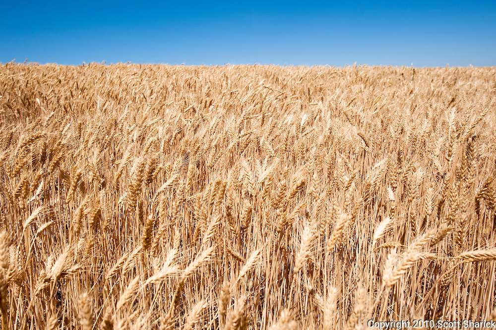 Expansive wheat fields with bue sky in eastern Washington State.