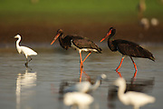 The Black Stork (Ciconia nigra) is a large wading bird in the stork family Ciconiidae. It is a widespread, but uncommon, species that breeds in the warmer parts of Europe (predominantly in central and eastern regions), across temperate Asia and Southern Africa. The Black Stork feeds on amphibians and insects.Photographed in Israel in August