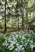 An afternoon sunstar filters through the forest Hemlock (Tsuga canadensis) canopy and illuminates a bed of White Wood Asters (Eurybia divaricata).