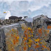 Kelp Gull on the nest on Half Moon Island, Antarctica.