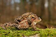 Common toad (Bufo bufo) traveling back to breeding pond | Erkröten-Paar (Bufo bufo) auf der Wanderung zum Laichgewässer Generell sind Arten besonders gefährdet, die eine grosse Zeit im Wasser.verbringen, sei das als Larve oder als Adulttier. Bei der heimischen Erdkröte wurde Der Chytridiomykose Erreger (Batrachochytrium dendrobatidis) bereits nachgewiesen. Es ist leider noch nicht klar, wann und unter welchen Bedingungen es zum Ausbruch der Krankheit kommt. Dies dürfte von unzähligen Faktoren wie Eigenheiten der Amphibienarten, Klima, Umweltbedingungen, Habitateigenschaften etc. abhängen.