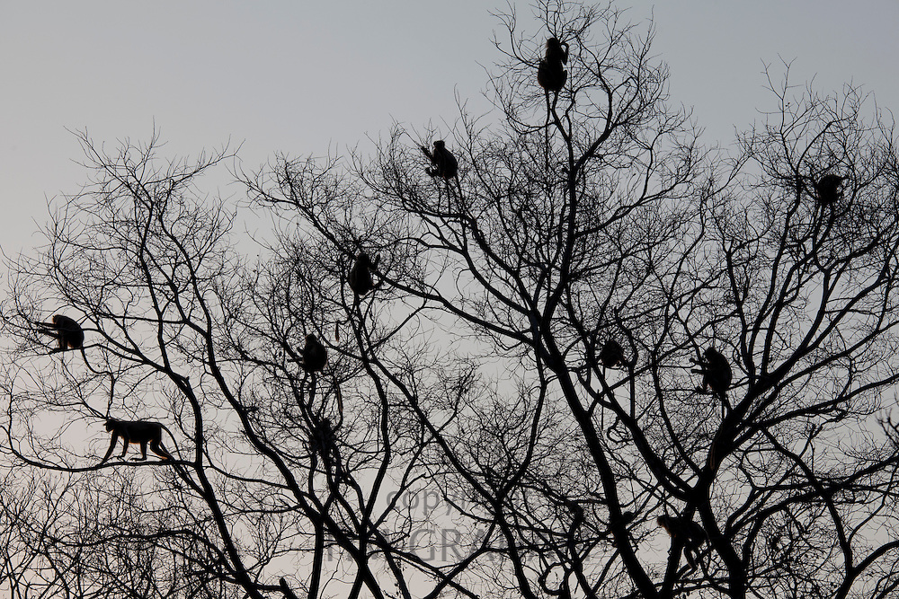 Indian Langur monkeys, Presbytis entellus, safe in tree branches in Ranthambore National Park, Rajasthan, India