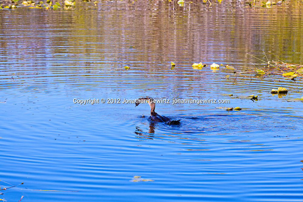 A Double-crested Cormorant (Phalacrocorax auritus) that has just caught a fish in a canal along the Anhinga Traill in Everglades National Park, Florida. WATERMARKS WILL NOT APPEAR ON PRINTS OR LICENSED IMAGES.