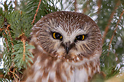 Saw-whet owl (Aegolius acadicus) perched in spruce tree.