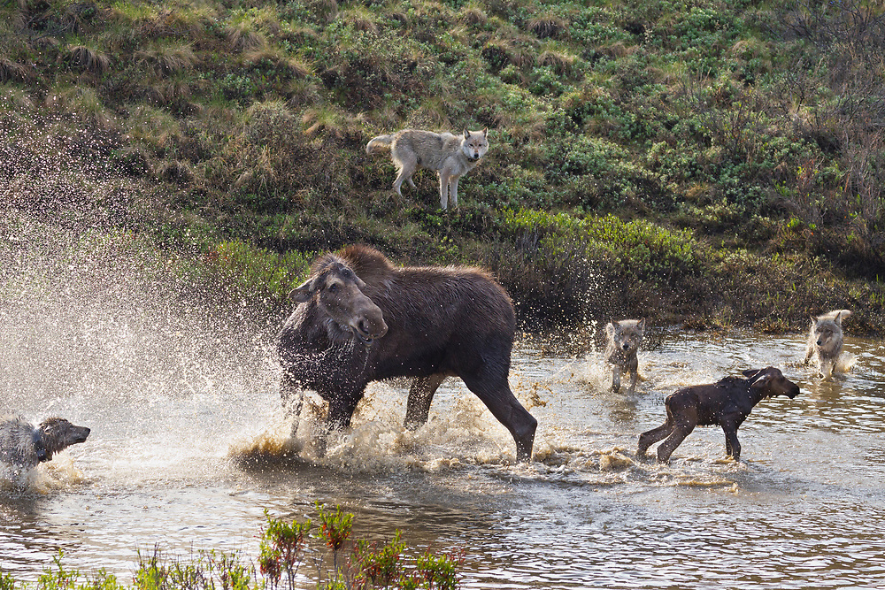 A moose cow vigorously defends it's newborn calf from the Grant Creek Wolf pack in a small pond next to the Denali National Park Road, Alaska