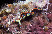 painted sea slug or painted elysia, <br /> Elysia picta, Grand Bahama Island<br /> Bahamas ( Western Atlantic Ocean )