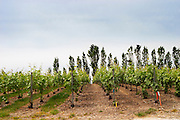 Experiment with chemical weed killer to the right where there is now grass or weed between the rows and no weed killer to the left where there is grass growing at the experimental vineyard of the CIVC at Plumecoq near Chouilly in the Cote des Blancs It is used for testing clones soil treatment vine treatments spraying, Champagne, Marne, Ardennes, France