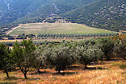 Vineyard and olive groove. Biblia Chora Winery, Kokkinohori, Kavala, Macedonia, Greece