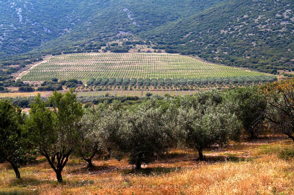 Vineyard and olive groove. Biblia Chora Winery, Kokkinohori, Kavala, Macedonia, Greece