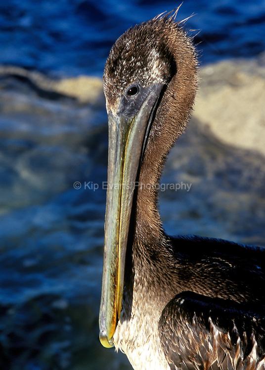 Close up of California Brown Pelican (Pelecanus occidentalis californicus)