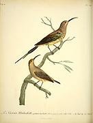 Sucrier malachitte. from the Book Histoire naturelle des oiseaux d'Afrique [Natural History of birds of Africa] Volume 6, by Le Vaillant, Francois, 1753-1824; Publish in Paris by Chez J.J. Fuchs, libraire 1808