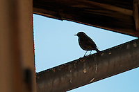 Female Black Redstart (Phoenicurus ochruros). Pont-du-Chateau, Auvergne, France.