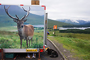 Image of stag once fed by tourists and cafe owner on A82 on Rannoch Moor but shot with air gun by juvenile Hogmanay revellers.