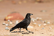 Carrion crow walking along the beach at Cromarty, on the Black Isle of Scotland.