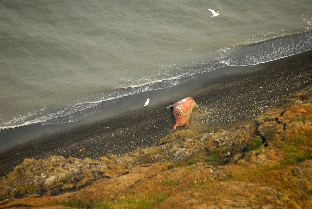 Alaska, Barrow. Tundra in Summer by the shore of the Arctic Ocean (Chuckchi Sea) .  July 2007