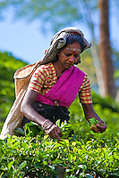 "Tea pickers in the Nuwara Eliya region of Sri Lanka known as ""Hill Tea Country"".  Numerous tea estates, such as Pedro, St. Claire and Blue Fields produce much of the premium Ceylon tea for the domestic and world market."
