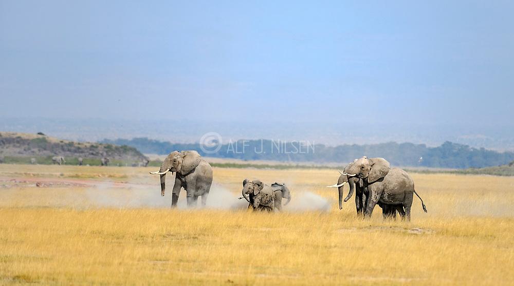African elephants in Amboseli NP, Kenya.