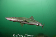 spiny dogfish, piked dogfish, spurdog, or dog shark, Squalus acanthias, with strands of bull kelp, Macrocystis integrifolia, in background, Quadra Island off Vancouver Island, British Columbia, Canada, ( North Pacific Ocean )