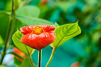 Kissing Lips, Psychotria elata, also known as Hooker's Lips or Labios de Puta, in the butterfly garden (mariposario) at Restaurante Selva Tropical, Guapiles, Costa Rica